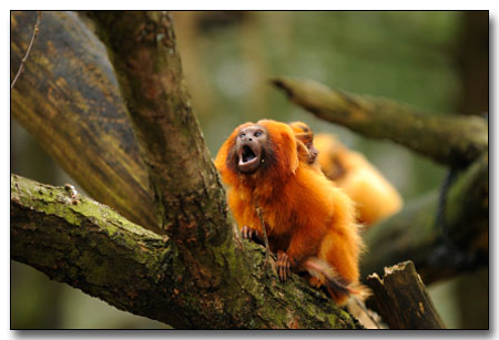 The Golden Lion Tamarin monkey.