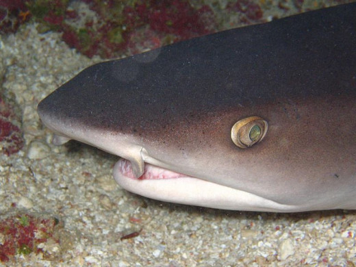Sharks have good eyesight  over a short distance but mostly rely on smell and vibration to home in on prey from a long distance away