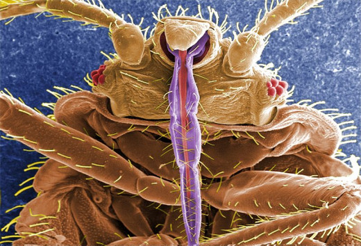 The hairs on the legs of bedbugs makes them vulnerable to being ensnared on bean leaves