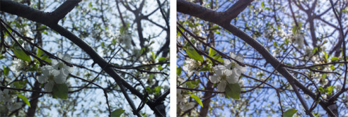 Before and after of a cherry blossom shot.