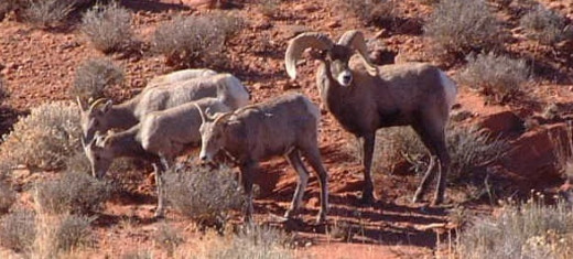 Canyonlands desert bighorns.
