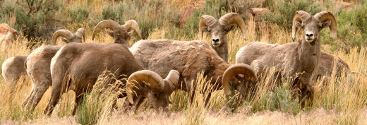 Sunnyside Rocky Mountain bighorn sheep