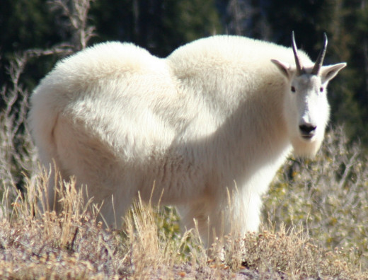 A Tushar Mountain goat.