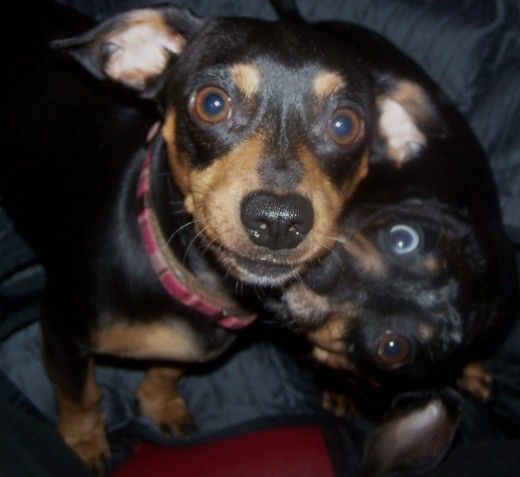 Love just is. Surprisingly this little girl Doxie thinks my Chiweenie is her little boy to fuss over.