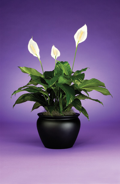 The beautiful Peace Lily