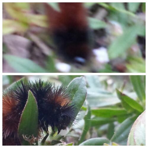 Woolly Bear Caterpillar Taken with Galaxy S4 Camera