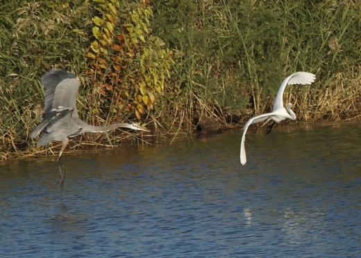 Great Blue Heron(left) and Great Egret(right)