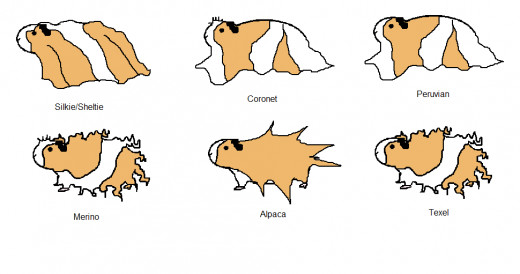 An illustration by Emily, of Critter Care, of 6 other breeds of guinea pigs