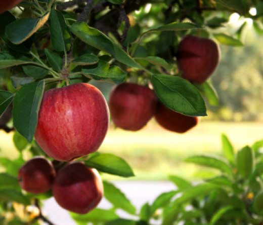 Pick up organic apples for making apple cider vinegar.