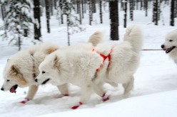 Samoyed: Ancient working dog breed from Siberia