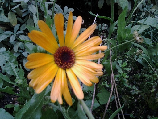 Calendula growing with the vegetables