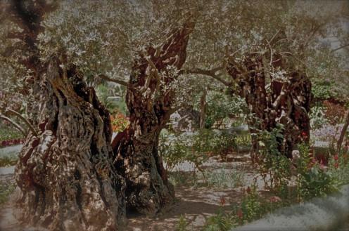 The garden of Gethsemane where Christ agonized in prayer.