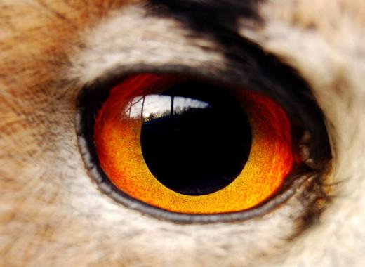 beautiful eye of an eagle