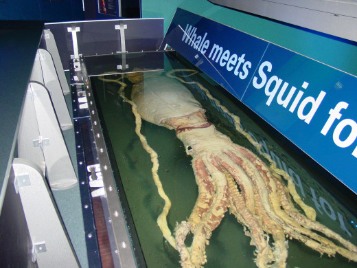 This Giant Squid is one of the largest ever captured.