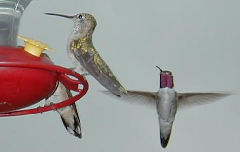 Female hummingbird (on feeder) has no color while male has color on throat.
