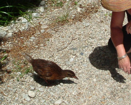 Weka cadging a biscuit!
