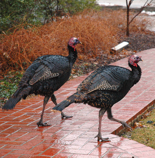Wild turkeys going for a walk.