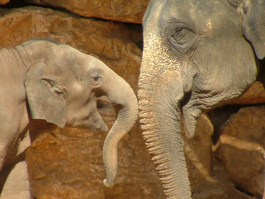 Mother and Baby! Asian Elephants are some of the closest living relatives of the Wooly Mammoth. Impressive creatures, aren't they?
