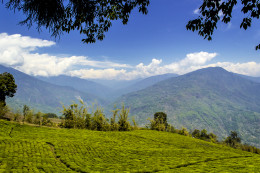 Temi Tea Garden located in the state of Sikkim, India