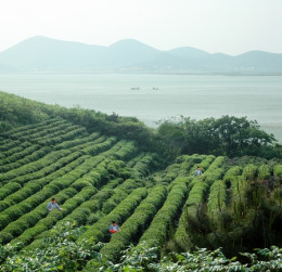 Green tea growing in Luochun, China image from wikipedia commons.