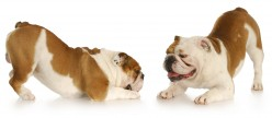 Funny Bulldog Names for Males and Females