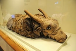 A mummified bull...showing us just how sacred the bull was to the ancient Egyptians.