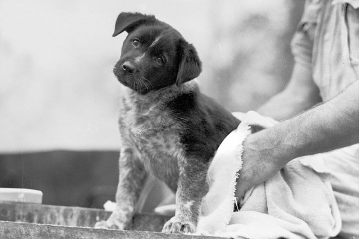 English: The mascot of a cookhouse at the 9th Australian division, a puppy dog, being dried after his bath, in preparation for the visit of general Douglas Macarthur, Commander in Chief, Allied Land Forces, South West Pacific Area.