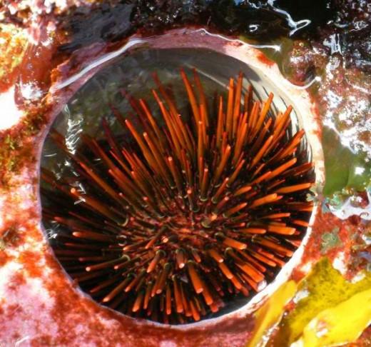 sea urchins via morgueFile