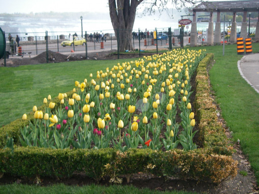 Tulips blooming in May. Horseshoe Falls is in far the background.