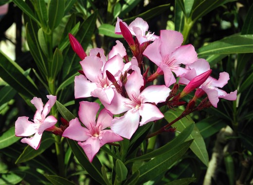 Twelve poisonous house plants and their health effects dengarden oleander grows indoors or outdoors its a beautiful plant but is very toxic mightylinksfo