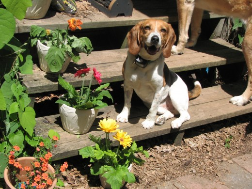Colorful flowers in pots cheer up a stairway - just ask George, our Beagle!