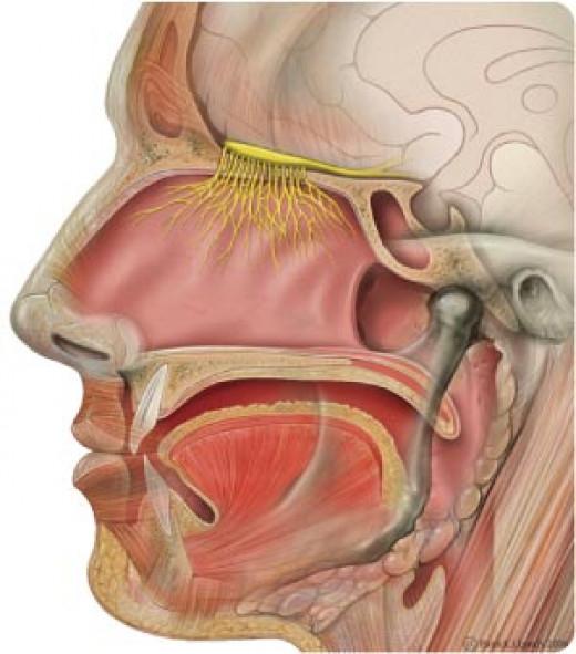 Your sinus cavities