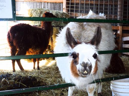 Sheep Farm in Ontario