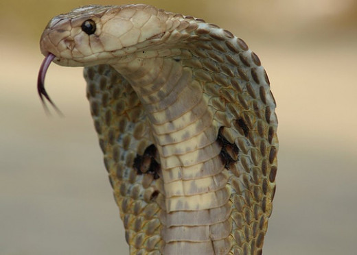 Indian Spectacled Cobra.  This is one of the most  venomous snake in India