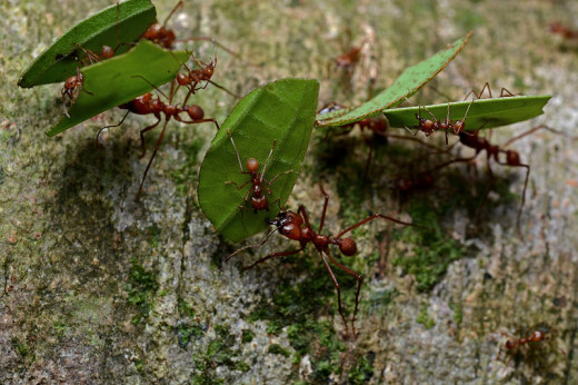 Leaf cutter ants can travel hundreds of meters just to find the right leaves.