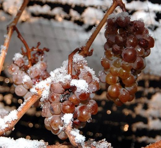 Grapes freeze over ready to make ice wine!  Photo by Dominic Rivard (creative commons attribution share alike)