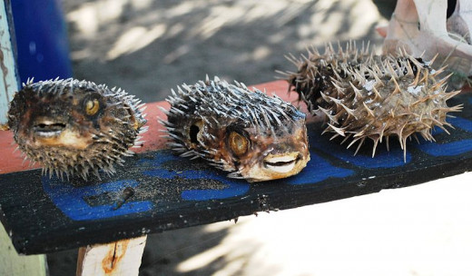 Blowfish are really deadly.  Are you willing to eat them?