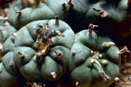 Peyote Cactus Peyote, Lophophora williamsii. also known as Mescal buttons is a spineless cactus. It is found in the Southwestern United States south into central Mexico. It is also found it the Chihuahuan Desert within this area.