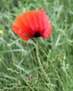 Poppy Day Remembering