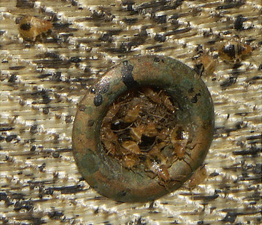 Disgusting picture of bed bug infestation, sorry, I know its quite gross! Kill 'em with DE!!! Hurry!