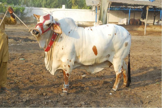 In the day of Eid-ul-Adha, a huge number of cows are slaughtered as form of sacrifice. This has been an old tradition of Eid-ul-Adha  that still being observed nowadays.