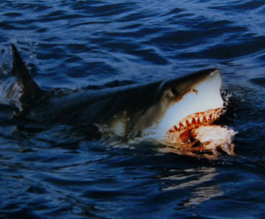 A Great White Shark Hunting.