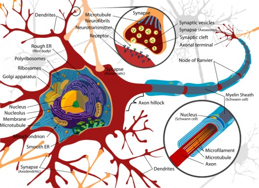 Complete neuron cell diagram. Neurons (also known as neurones and nerve cells) are electrically excitable cells in the nervous system that process and transmit information.