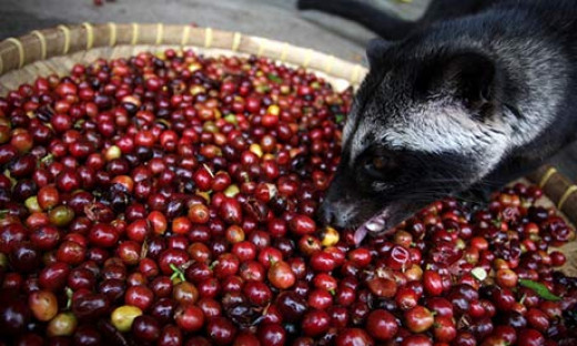 A civet eating coffee cherries. Photograph: Ulet Ifansasti/Getty Images