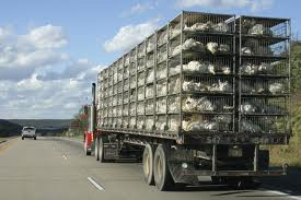 Chicken transportation truck