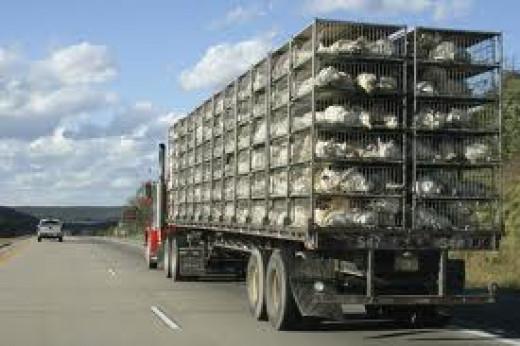 Chicken transportation truck