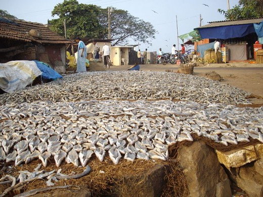 Salted fish drying in the sun, India.