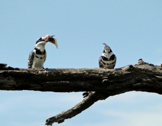 Pied Kingfishers-Kruger National Park
