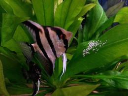My Angelfish Laying Eggs