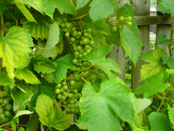 How can I use up tiny, unripe, sour grapes?  Do you know any recipes, apart from wine-making?